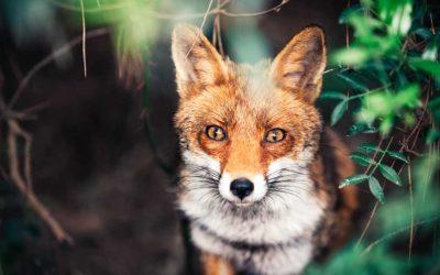 Fuchsreizjagd – Eine kurze Einführung