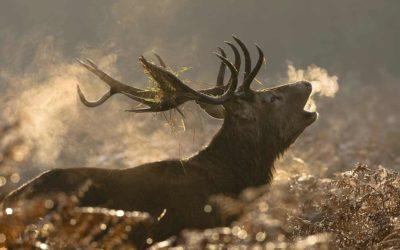 Die Lockjagd auf Rotwild mit dem Eifel-Hirschruf – So geht es